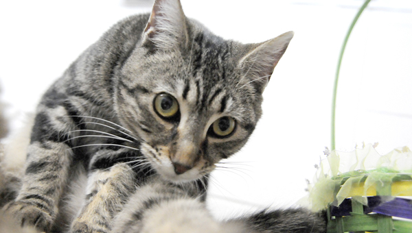Selma Animal Shelter resident Stormy plays in the cat room on Monday. A group of volunteers are going to help renovate the cat room to allow cats to roam freely inside the room. (Josh Bergeron   Times-Journal)