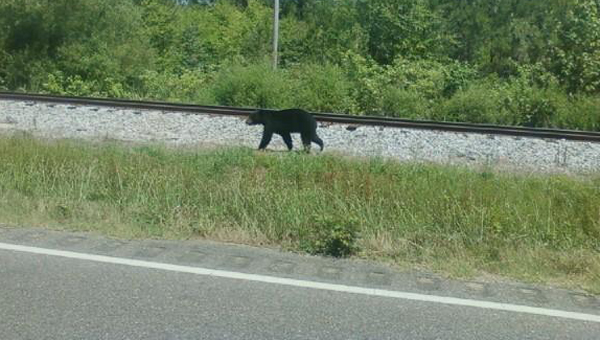 A black bear was seen walking down Highway 22 in Orrville Monday, giving several motorists an unexpected sight during their commute. Experts said the bear is likely travelling north after leaving the state's largest bear population, which is located around the Mobile and Baldwin County areas in the southwest corner of Alabama.--Submitted Photo