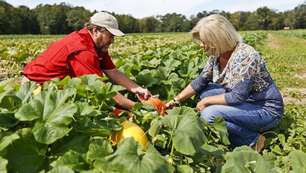 Chuck and Angie Yeargan harvest a pumpkin from their pumpkin field recently to be used at their annual Pumpkin Patch at Yeargan Farms.--Alaina Denean