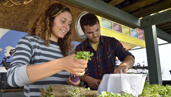 Victoria and Chaz Jones harvest radish microgreens Thursday at Spencer Farm to deliver to restaurants in Montgomery.